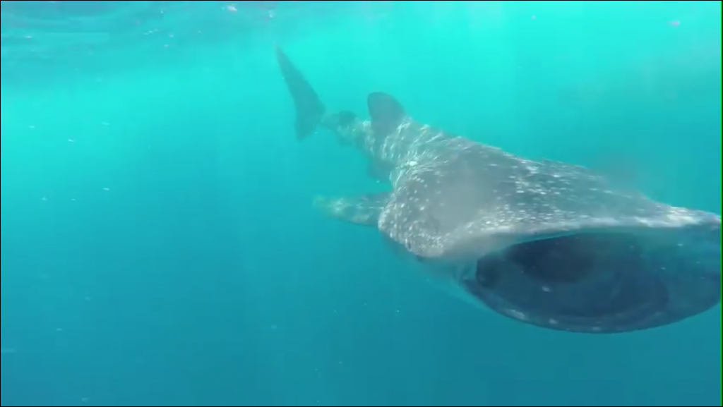 Swimming with the whale sharks!