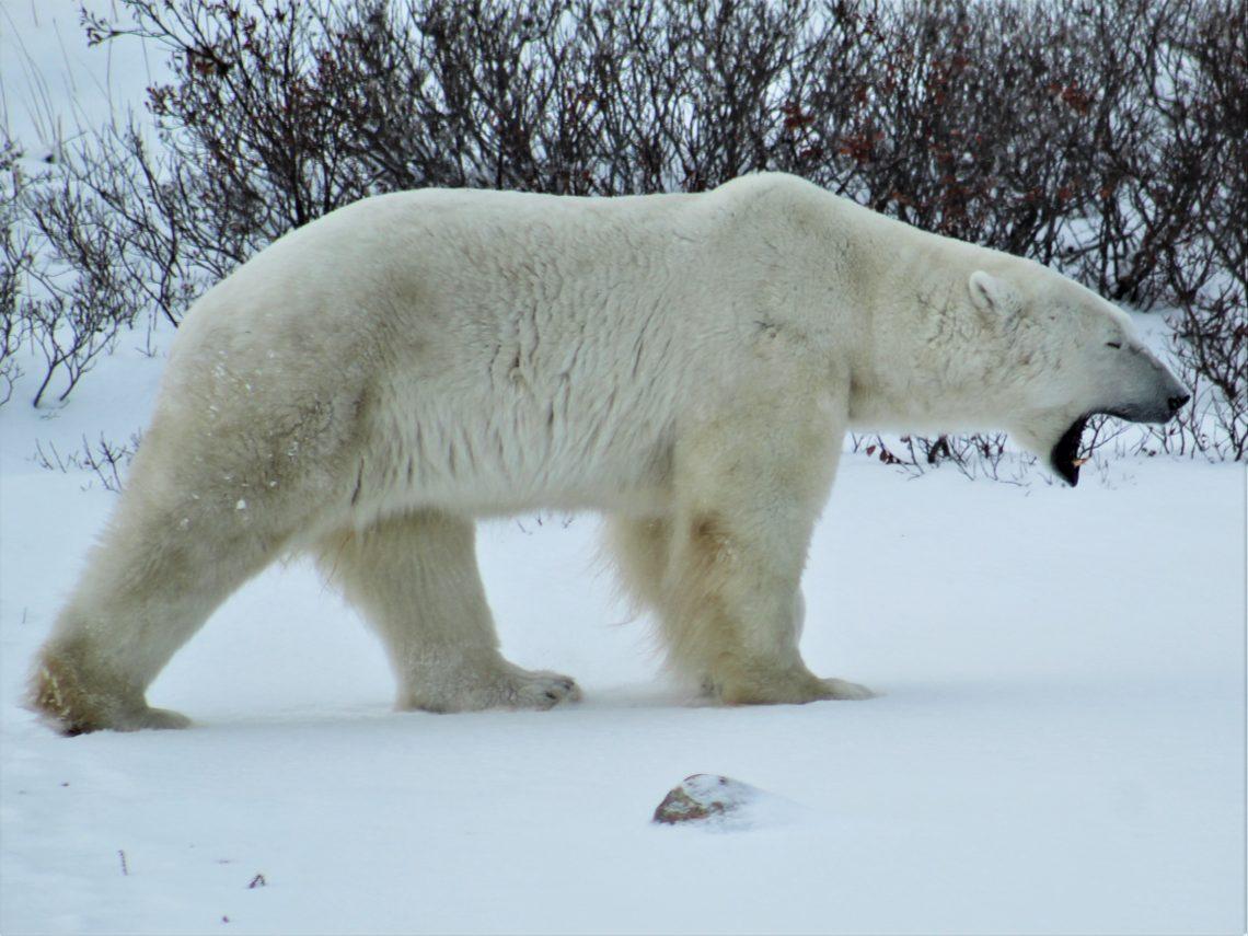 Polar Bear Capital of the World
