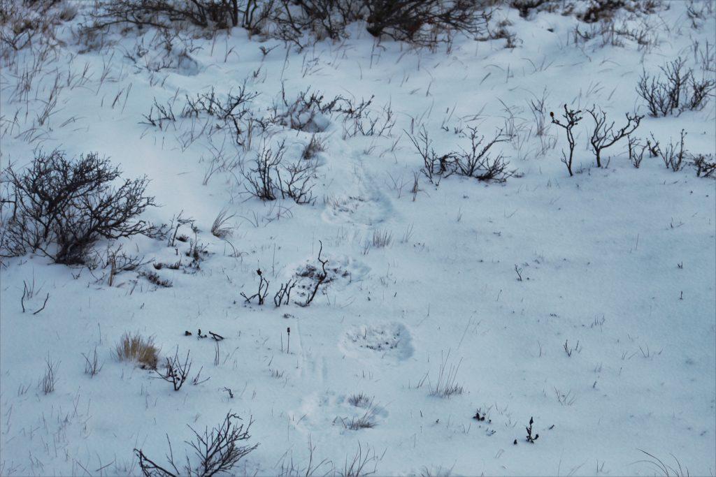 Polar Bear foot prints