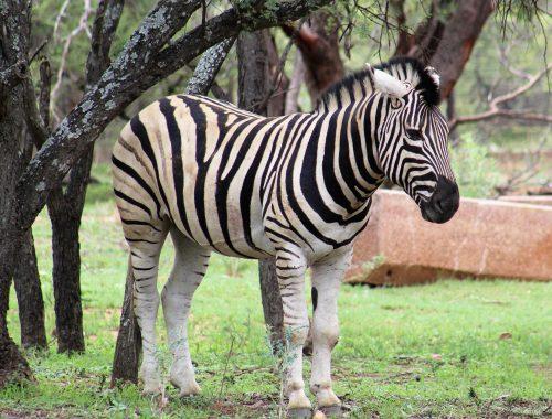 Zebra at Mongena