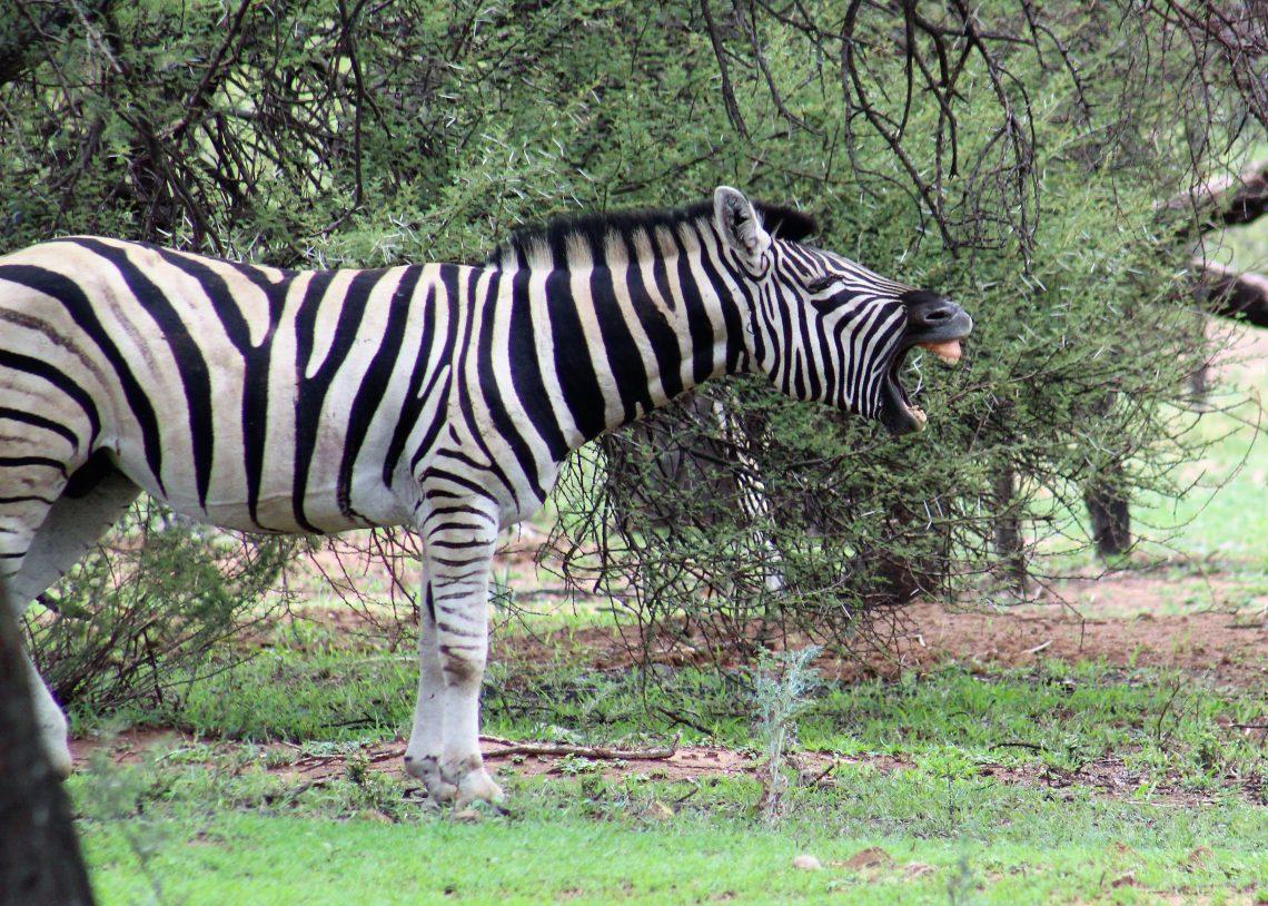 Zebra at Mongena Lodge