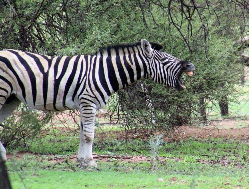 Zebra at Mongena Lodge