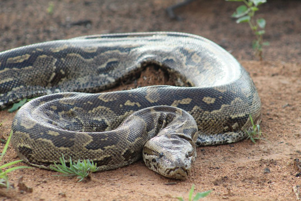 African Rock Python on our game drive in South Africa