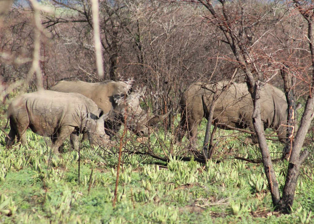 Rhinos on our game drive in South Africa