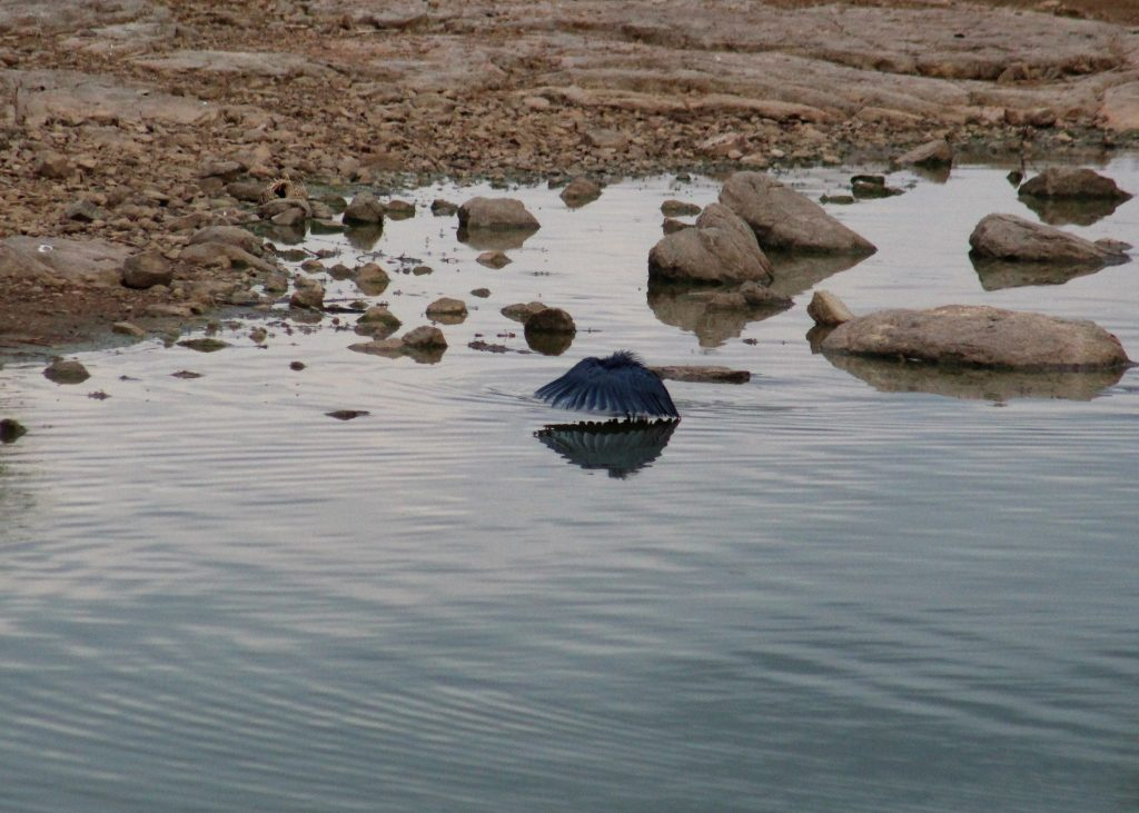 Black heron on our game drive in South Africa