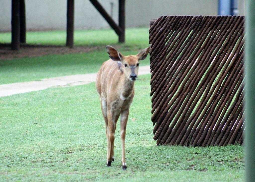Wildlife inside Mongena Game Lodge.