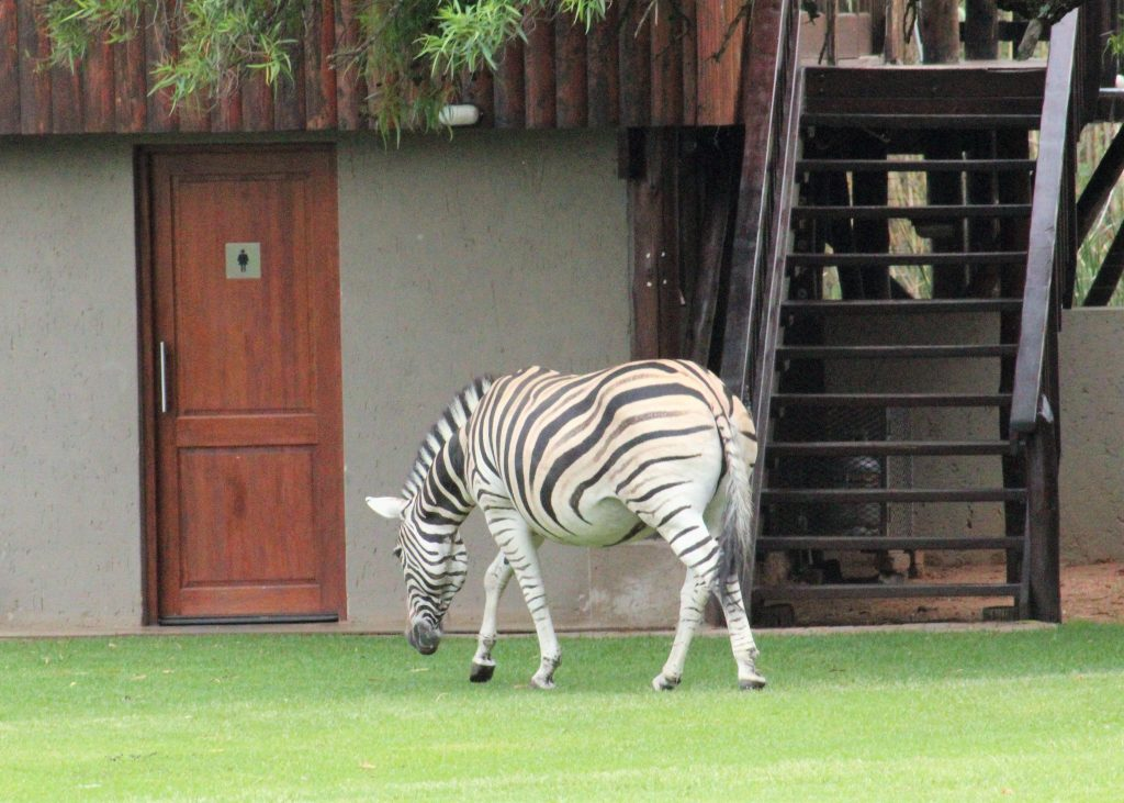 Zebras in the lodge where we stayed at in South Africa for our game drives.
