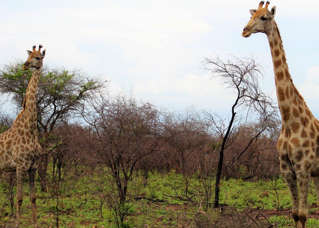 Giraffes in Dinokeng