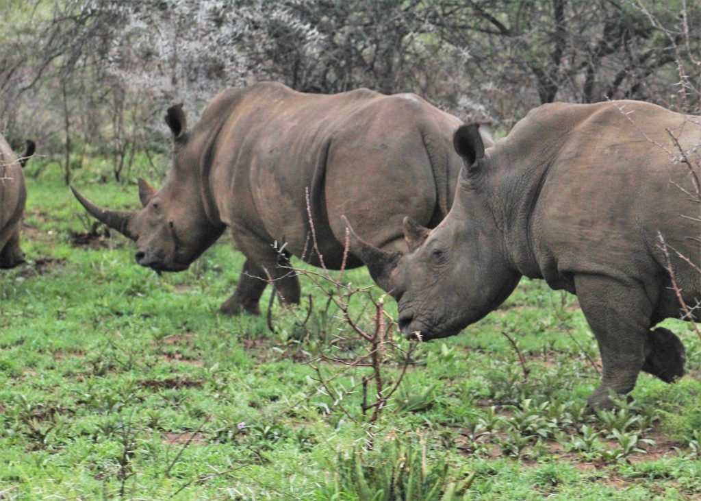 Rhinos on our game drives in South Africa