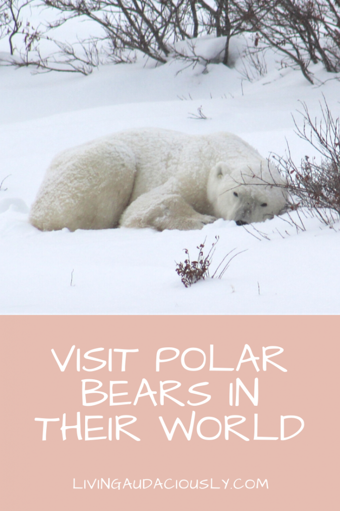 Visit Polar Bears in Their World