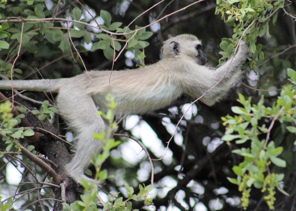 Monkeys in the tree in Mongena