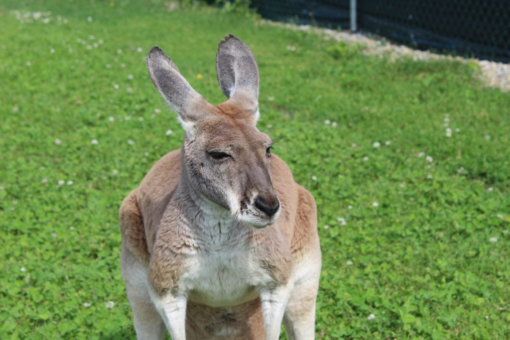 Yes, there's kangaroos at this dairy farm!