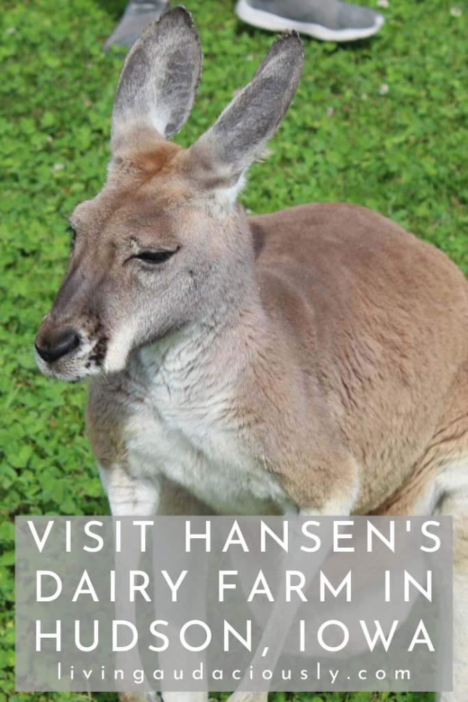 Hansen's Dairy Farm in Iowa has an on-farm creamery providing milk and other dairy products to Waterloo and surrounding areas. Plus, they have kangaroos!  #DairyFarm #Iowa #IowaFarm #Kangaroos #IowaMilk #IowaCreamery