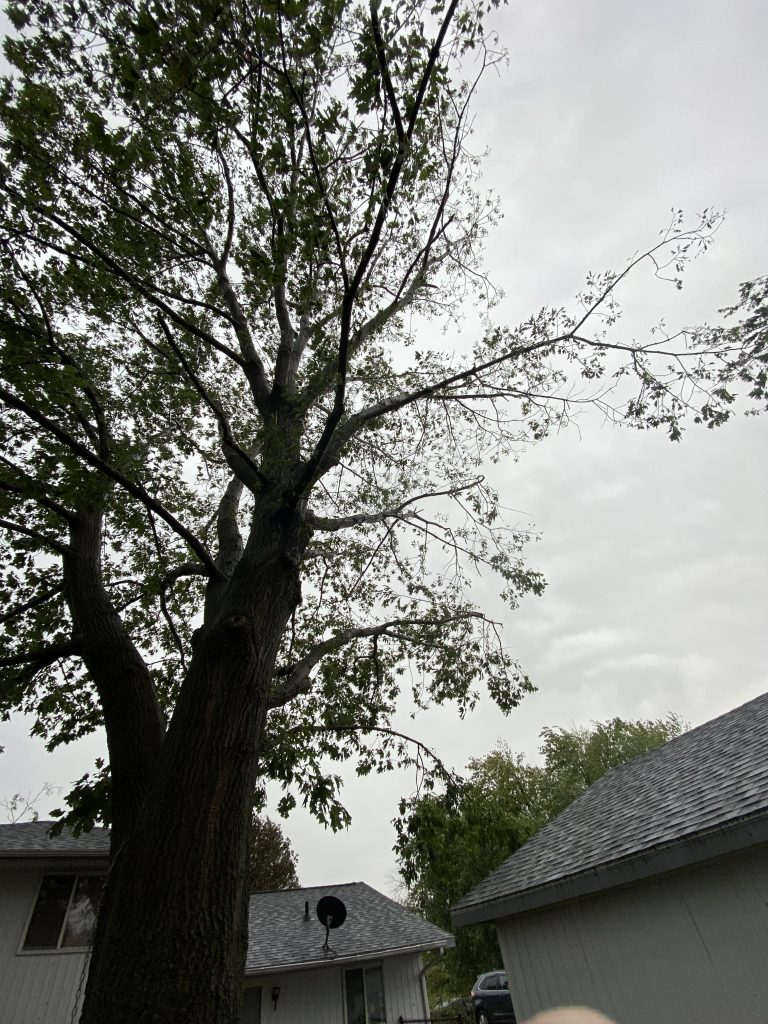 The derecho thinned out one side of my oak tree.