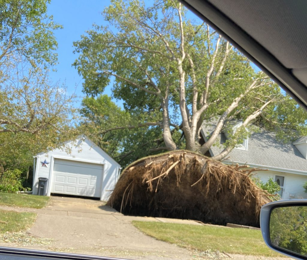 Giant tree that was uprooted during the derecho.