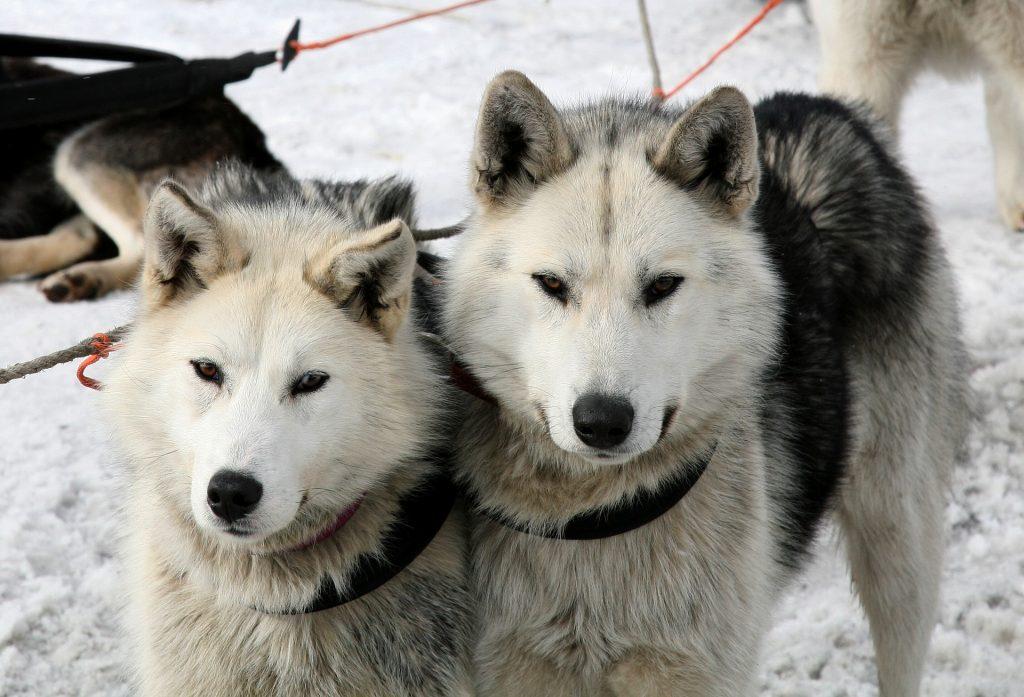 Dog sledding in Fairbanks, Alaska for your winter vacation.